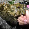 ムラソイは狙ってない時に限ってよく釣れる。